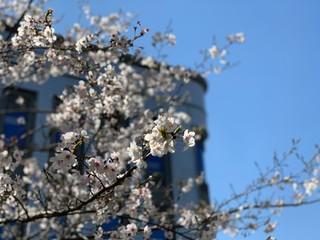 2019TST本社の桜.jpg